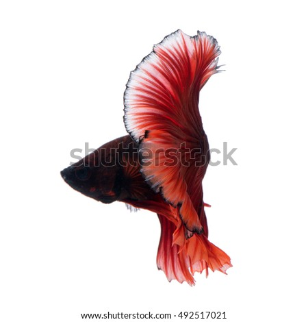Capture the moving moment of red siamese fighting fish isolated on white background. Betta fish. Fish of Thailand