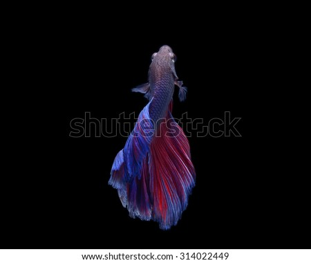 Capture the moving moment of white siamese fighting fish isolated on black background. Betta fish - stock photo
