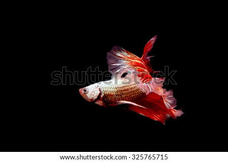 Capture the moving moment siamese fighting fish isolated on black background