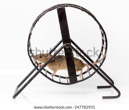 Captured house mouse (Mus musculus) running in metallic treadwheel - stock photo