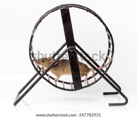 Captured house mouse (Mus musculus) running in metallic treadwheel - stock photo