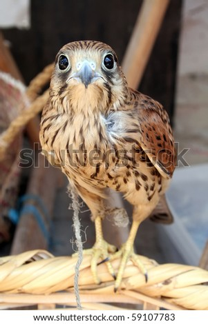 Captured young hawk tied with rope. - stock photo
