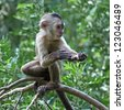 capuchin monkey cub on tree branch - stock photo