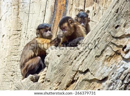 capuchin monkey family on the rock - stock photo