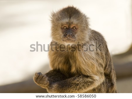Capuchin Weeper Monkey sitting - stock photo