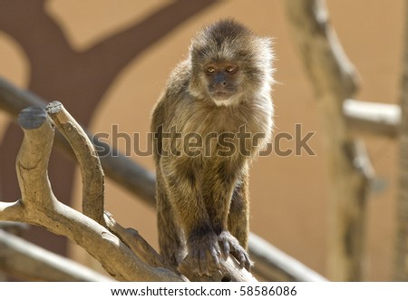 Capuchin Weeper Monkey sitting on a branch - stock photo