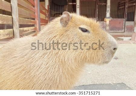 Capybara - stock photo