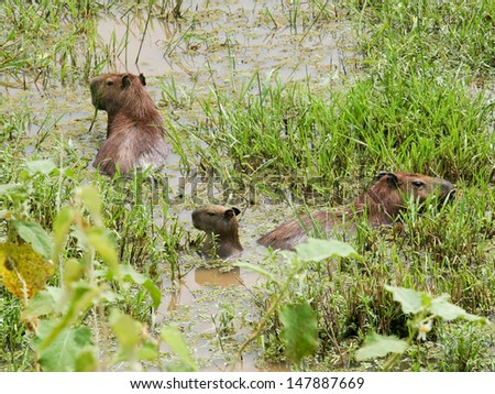 Capybara and her kids in the El Cedral, Los Llanos, (Venezuela)