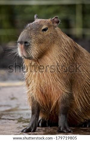 Capybara  (Hydrochoerus hydrochaeris) - stock photo