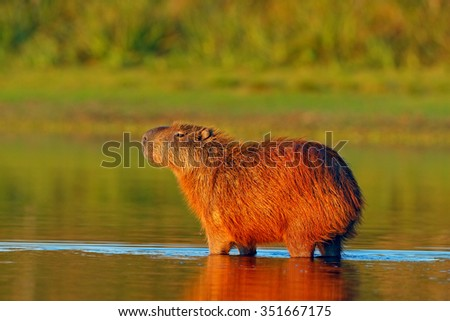 Capybara, Hydrochoerus hydrochaeris, Biggest mouse in the water with evening light during sunset, Pantanal, Brazil  - stock photo