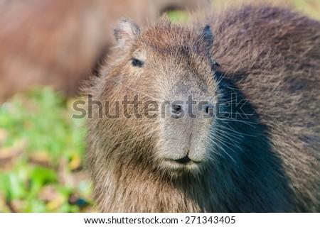 Capybara (Hydrochoerus hydrochaeris)  in Esteros del Ibera, Argentina - stock photo