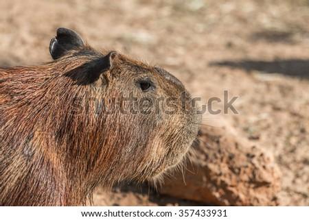 Capybara (hydrochoerus hydrochaeris) standing on the ground - stock photo