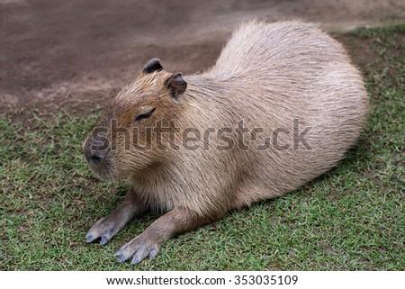 capybara is sleeping on ground - stock photo