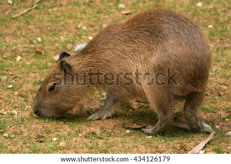 capybara is the largest rodent in the world - stock photo