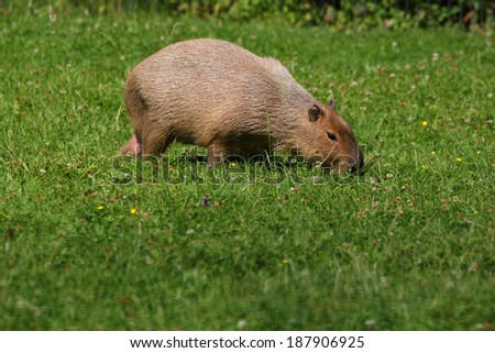 Capybara on grass  - stock photo