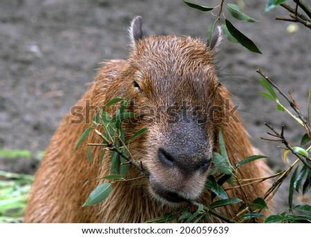 Capybara, Tokyo, Japan - stock photo