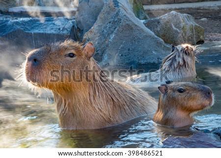 Capybara waiting for food at Izu Shaboten onsen - stock photo