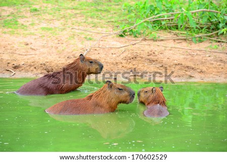 Capybaras, the largest rodent in the world, in Pantanal, Mato Grosso, Brazil - stock photo
