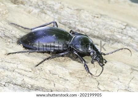 Carabus glabratus / smooth ground beetle - stock photo