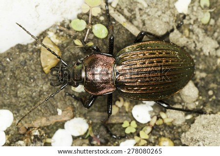 Carabus ulrichii /  male ground beetle  - stock photo