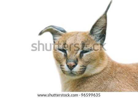 Caracal - african lynx - isolated on white background
