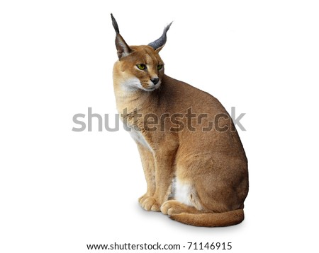 Caracal African wild cat . Isolated on white - stock photo