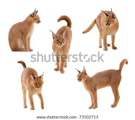 caracal cat - stock photo