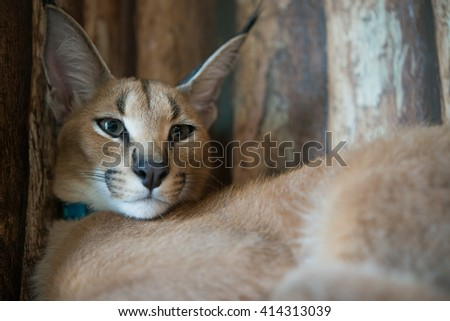 Caracal cat with wooden background - stock photo