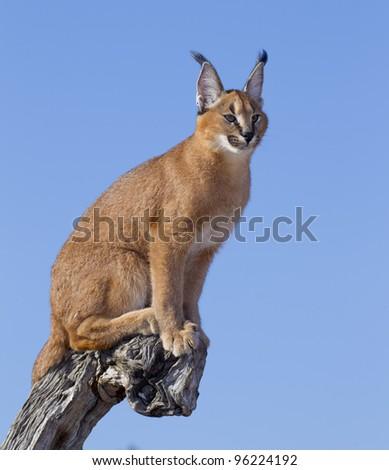 Caracal (Felis caracal) on a dead log, South Africa - stock photo