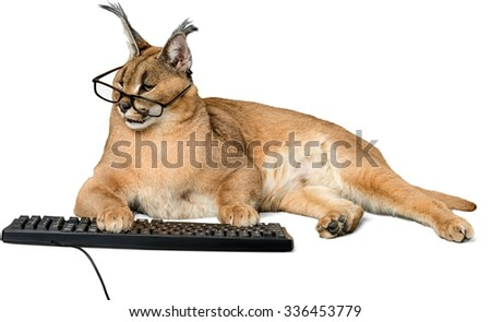 Caracal in Glasses Typing - Isolated - stock photo
