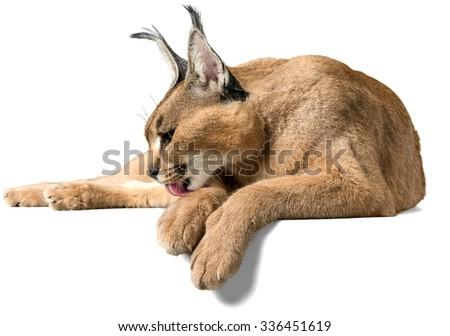 Caracal Lying Down Cleaning Itself - Isolated - stock photo