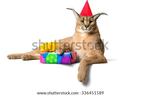 Caracal Lying Down with Birthday Present Wearing Party Hat - Isolated - stock photo