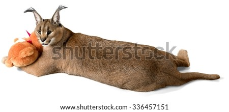 Caracal Lying with a Stuffed Toy - Isolated - stock photo