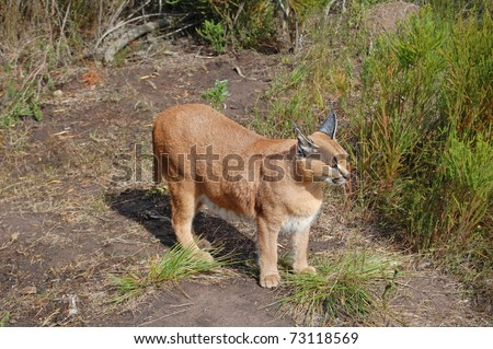 caracal lynx cat in scrubland - stock photo
