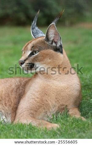 Caracal Lynx wild cat from Africa resting on grass - stock photo