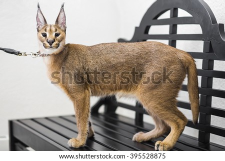 Caracal,  6 months old, standing an bench at exhibition - stock photo