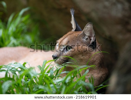 caracal resting on green grass  - stock photo