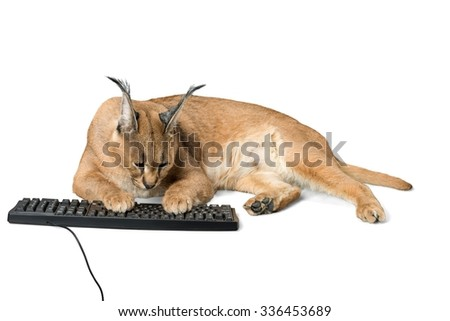Caracal Typing on a Computer Keyboard - Isolated - stock photo