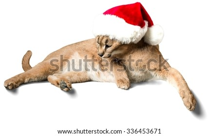 Caracal Wearing Christmas Hat - Isolated - stock photo