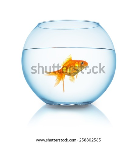Carassius auratus in a fishbowl isolated on white - stock photo