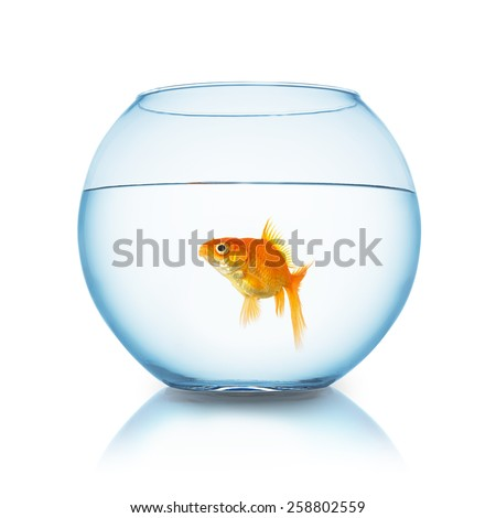 Carassius auratus in a fishbowl on white background - stock photo