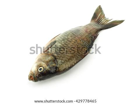 Carassius - crucian carp on a white background     - stock photo