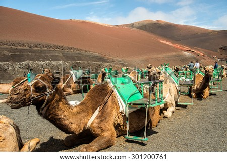 Caravan of camels in the desert on Lanzarote in the Canary Islands. Spain - stock photo