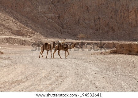 Caravan of camels on the background of mountains