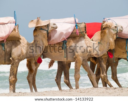 Caravan of camels on the beach - stock photo