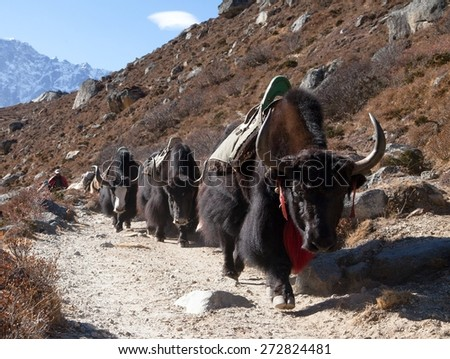 Caravan of yaks going to Everest base camp, Sagarmatha national park, Khumbu valley, Nepal - stock photo
