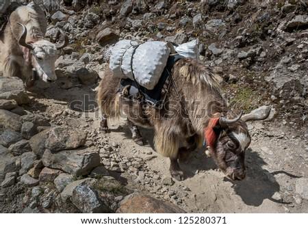 Caravan of yaks on a track near Namche Bazar - Nepal, Himalayas - stock photo