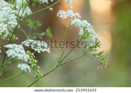 Caraway, Carum carvi or meridian fennel - stock photo