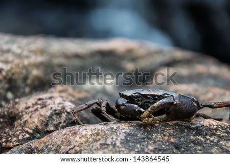 Carcass black cliff crab on stone at waterfall