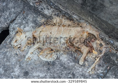 Carcass of dead cat with rotten skin on road. - stock photo